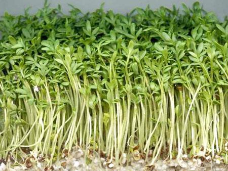 густые всходы кресс салата