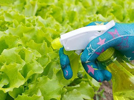 опрыскивание листьев салата