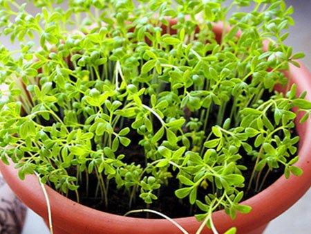 кресс салат в земле