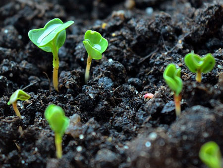 семена рукколы