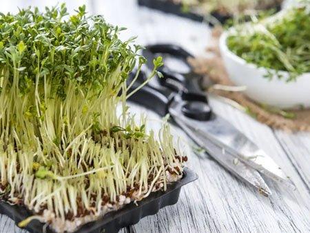 сбор урожая кресс салата