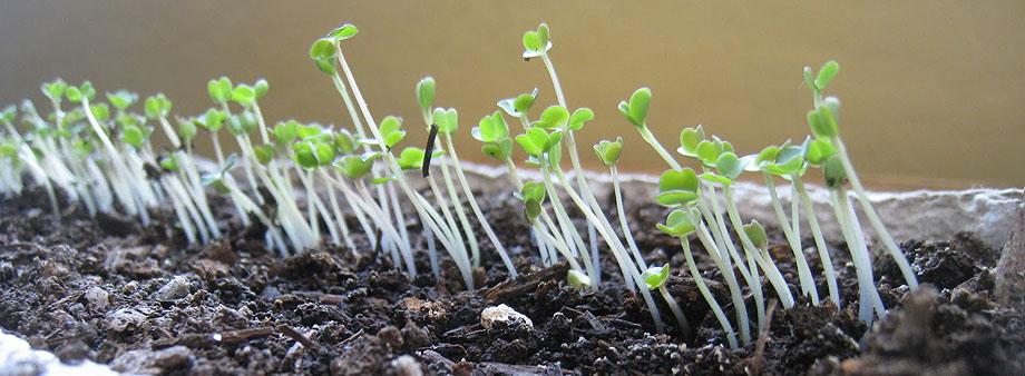 всходы листового салата