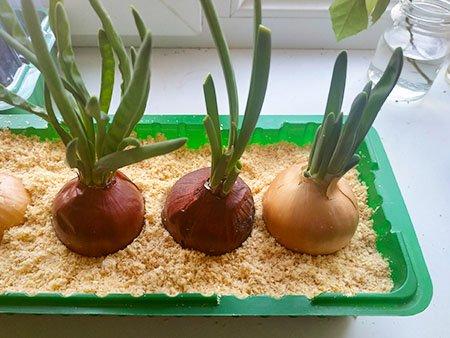 выращивание лука в опилках