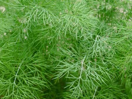 зелень укропа