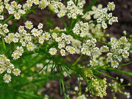 цветки тмина