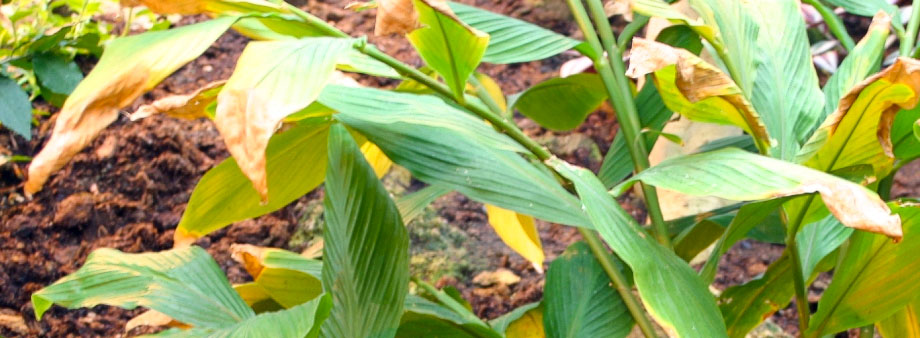 пожелтение листьев имбиря