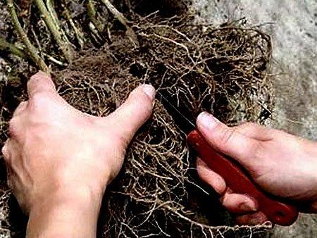 размножение тархуна делением куста