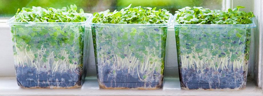 микрозелень на подоконнике