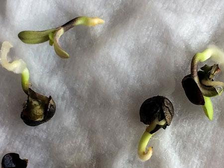проращивание семян на вате
