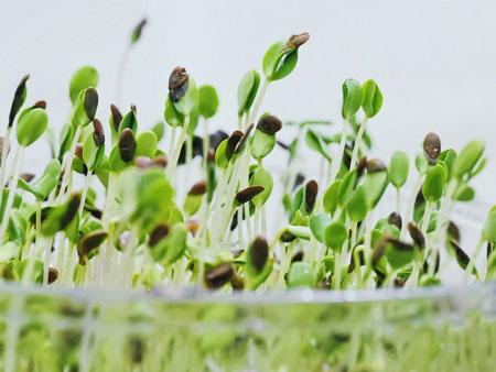 ростки льна