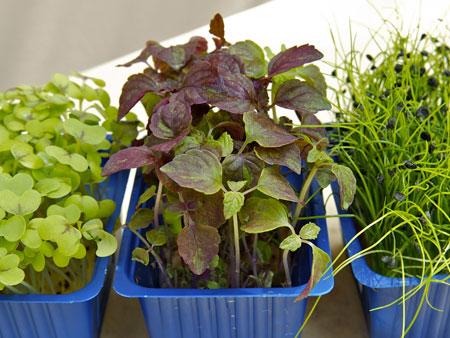 ростки микрозелени
