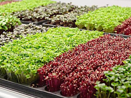 Выращивание микрозелени на продажу