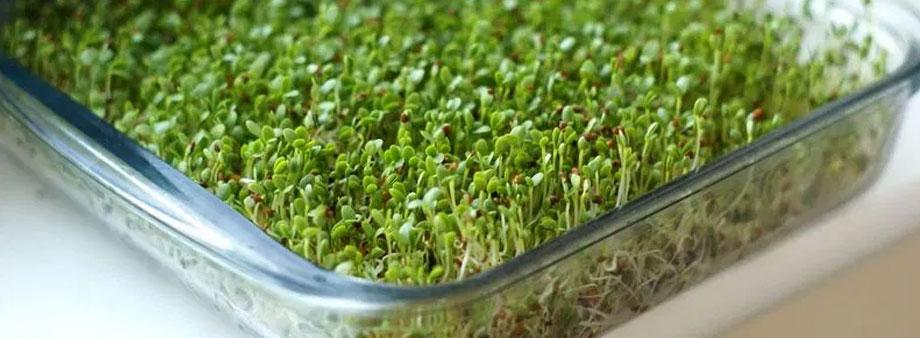 проращивание микрозелени в лотках