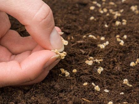 проращивание семян в земле