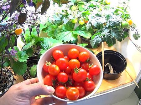 помидоры в гроубоксе