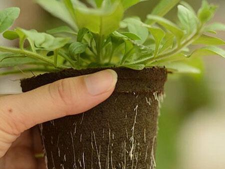 пересадка растения в горшочке в грунт