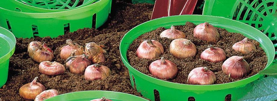 горшки для луковичных