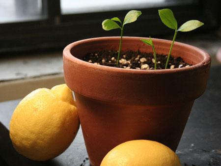 Выращивание лимона из косточки в домашних условиях
