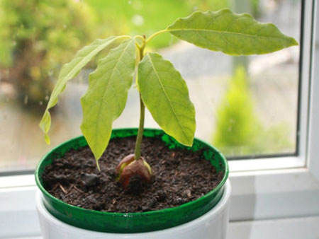 авокадо растет на подоконнике