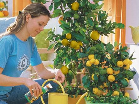 уход за лимоном