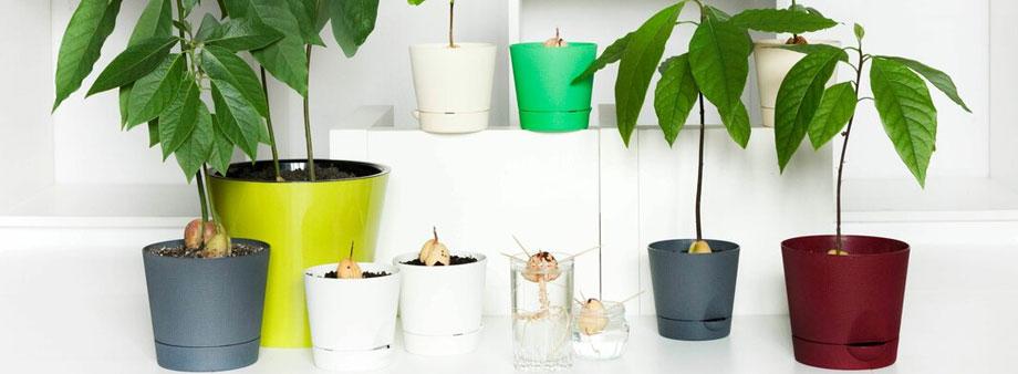 проращивание авокадо