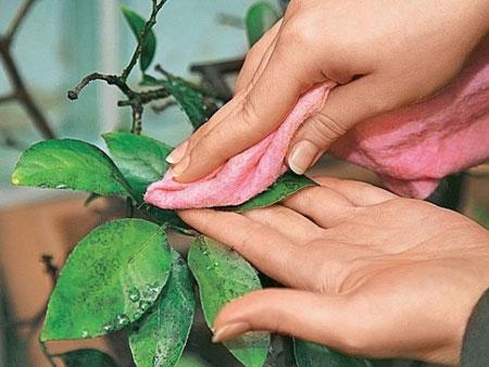 протирание листьев