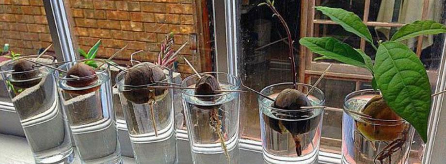 выращивание авокадо открытым способом