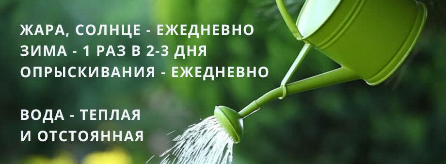Полив растения личи
