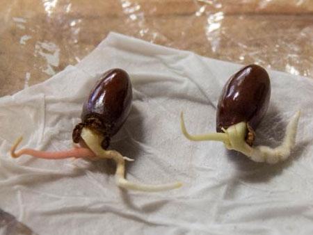 Проращивание косточек личи замачиванием