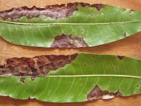 Антракноз на листьях манго