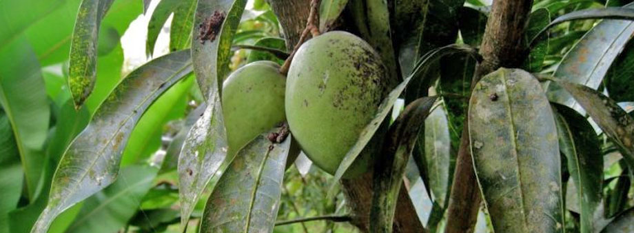 Бактериоз у манго