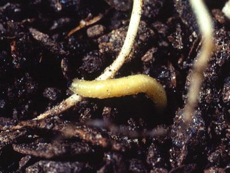 Корневой червь