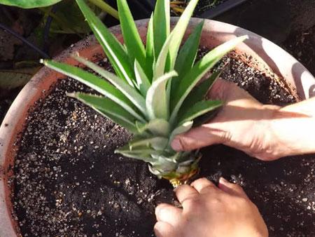 Посадка верхушки ананаса