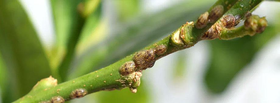 Щитовка на манго