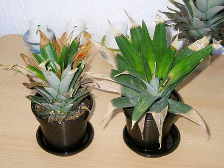 Сохнущие кончики листьев ананаса