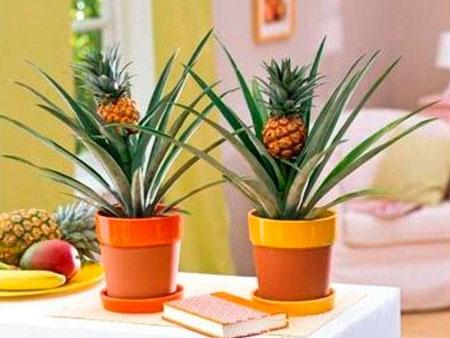 Стимуляция ананаса для цветения
