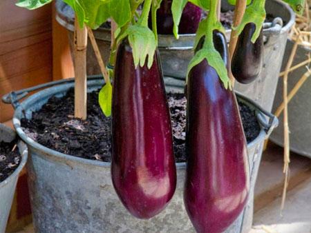 Выращивание баклажанов в горшке