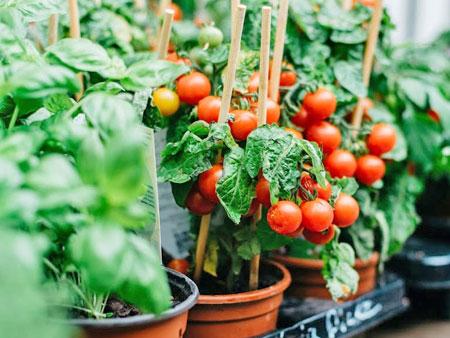 Урожай помидоров черри