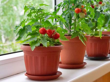 Урожай томатов черри