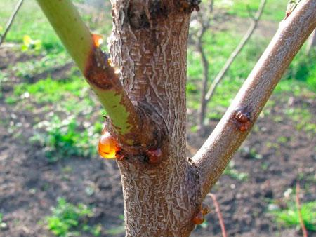 Камедетечение персика