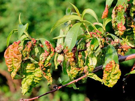 Курчавость зелени персика