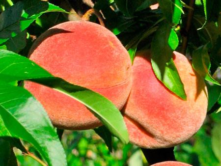 Персик Стартовый