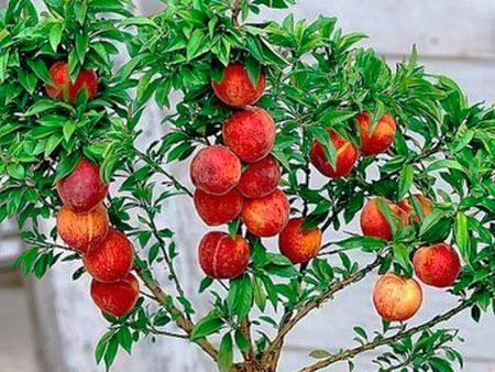 Персики из косточки в домашних условиях
