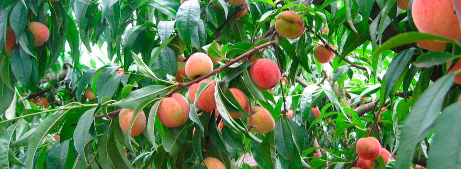 Выращивание персиков в средней полосе