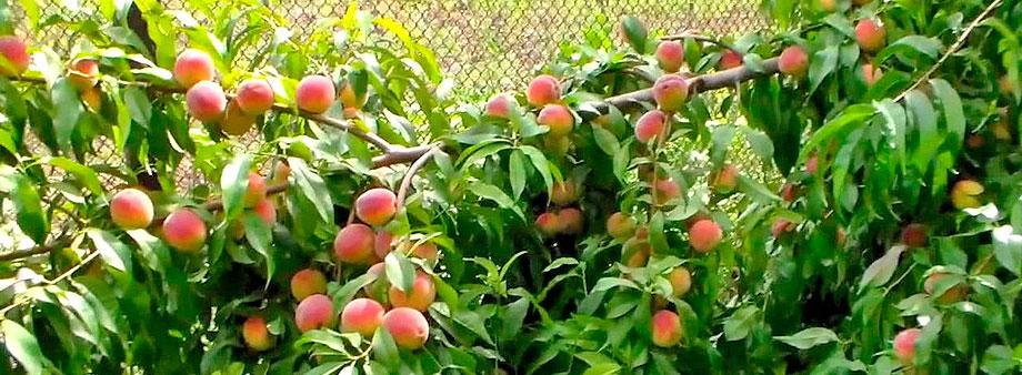 Выращивание персиков в стланцевой форме