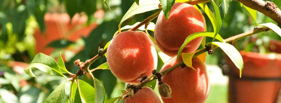 Выращивание персиков в южных регионах